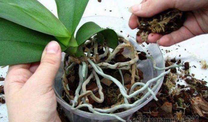 A szomszédasszonyom egy profi kertésztől megtanulta orchidea helyes gondozását, elárult 7 titkot, mitől virágzanak!