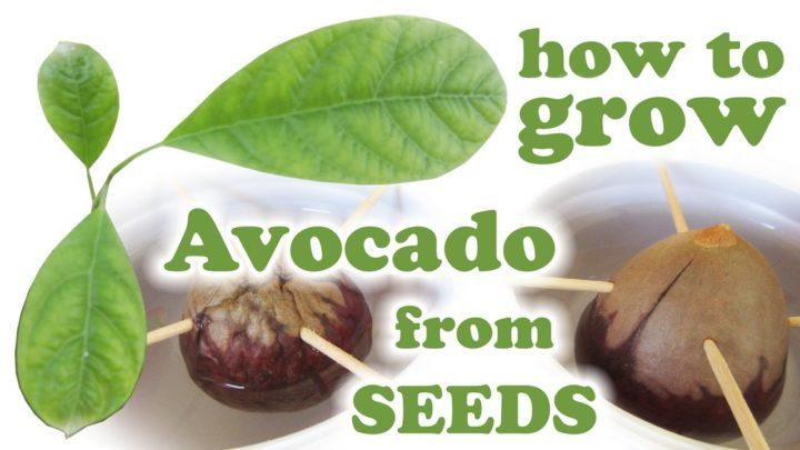 Így csíráztathatsz otthon avokádót! Tényleg működik