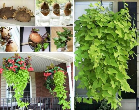 Így hajtathatsz édesburgonyát a konyhaablakban. El sem tudod képzelni mennyire csodás növény lesz belőle!