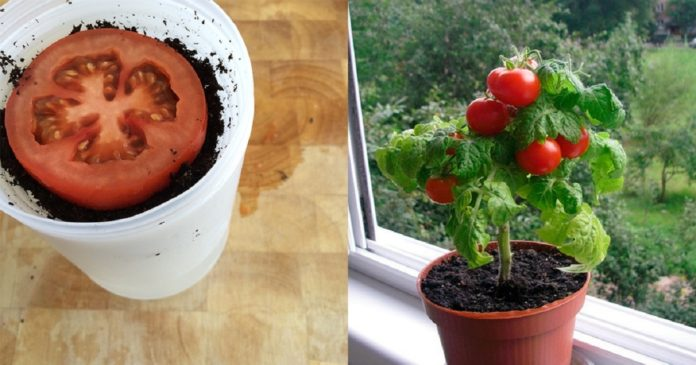Így nevelhetsz finom édes paradicsomot, akár egész évben!