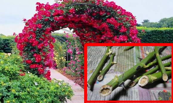 Mutatjuk, hogy szaporíthatsz ősszel rózsát! Így lesz káprázatos lugasod jövőre!